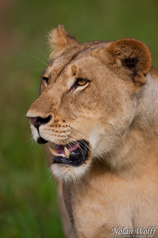 Lioness (454F10267)