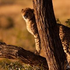 Cheetah cub (454F21345)