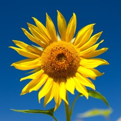 Sunflower (454F23360)