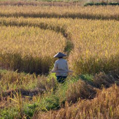 Rice paddies (454F23991)