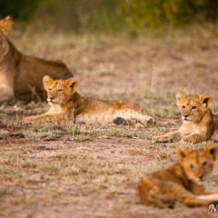 Lioness and three cubs (454F32387)