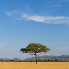 Lone Acacia tree, Serengeti (3J8A00030)
