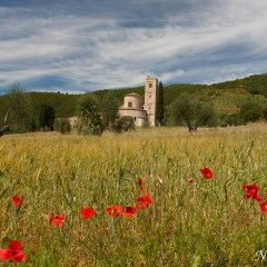 Abbey of Sant' Antimo in a field of poppies, Tuscany (454F27943)