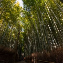 Bamboo forest grove (454F41426)