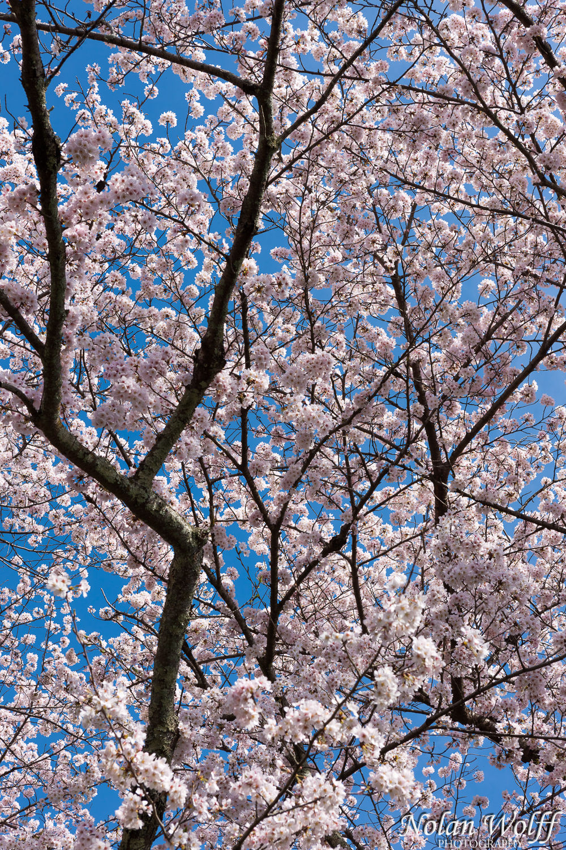 Cherry blossom tree (454F41478)