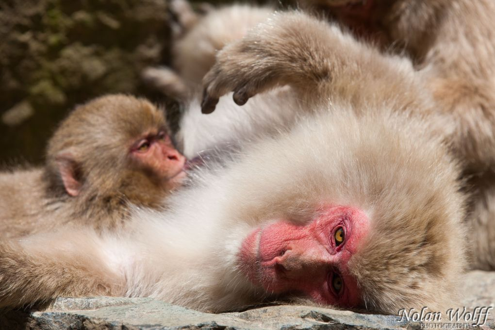 Snow monkeys (454F42921)