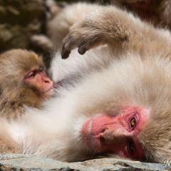 Snow monkeys (454F42921)