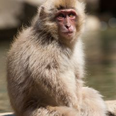 Snow monkeys (454F43187)