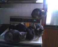 gatos-dia-de-accion-de-gracias-2013-02