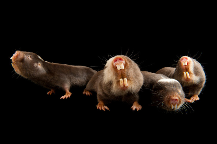 Damaraland mole rats (Cryptomys damarensis) at the Houston Zoo. These burrowing rodents from sub-Saharan Africa are one of only two known eusocial mammals.
