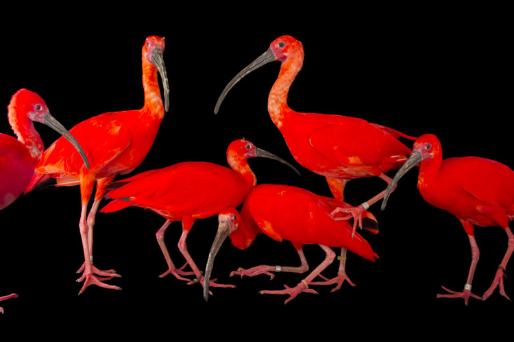 A flock of scarlet ibis (Eudocimus ruber) at the Caldwell Zoo in Tyler, Texas.