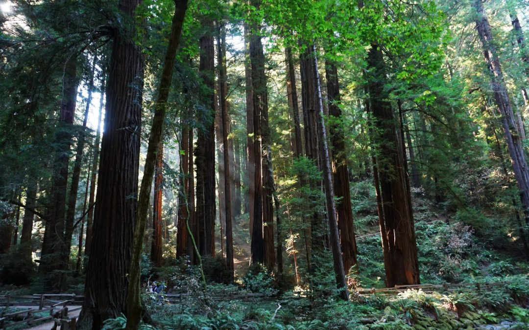 Walking Among Redwoods at Muir Woods National Monument