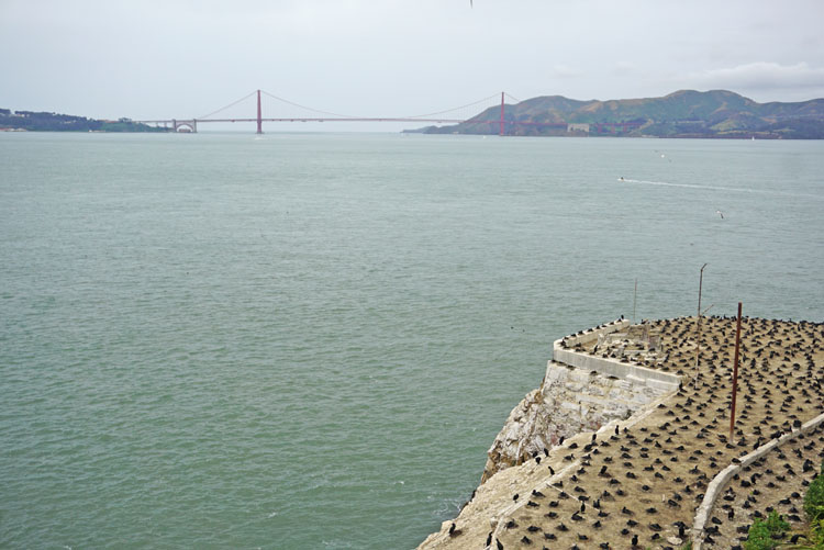 Cormorant nesting site on Alcatraz with view of the Golden Gate Bridge in the background