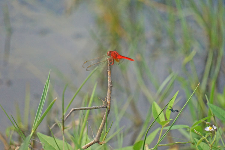 Red dragonfly seen from a Shark Valley tram tour