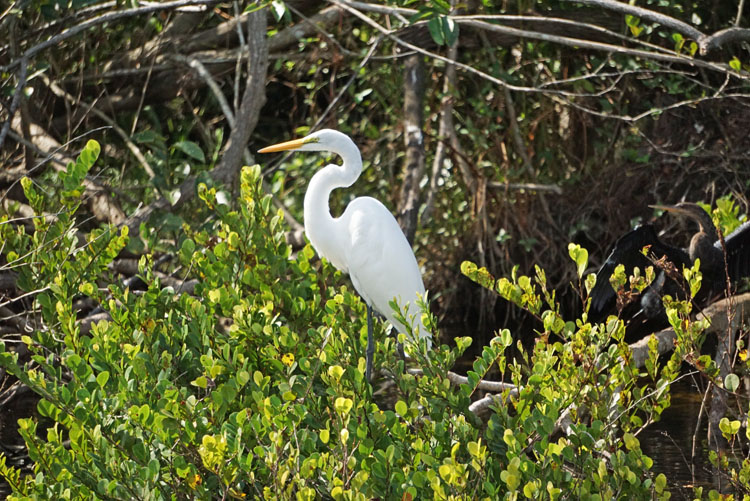 White heron seen from an Everglades tram tour
