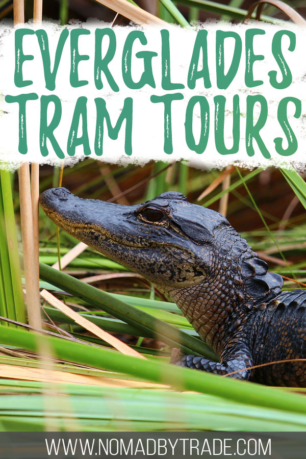"Photo of an alligator in the Everglades with text overlay reading ""Everglades tram tours"""