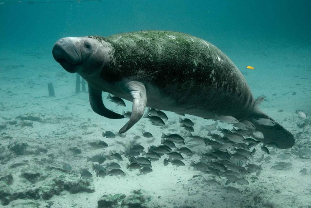 Manatee and fish swimming