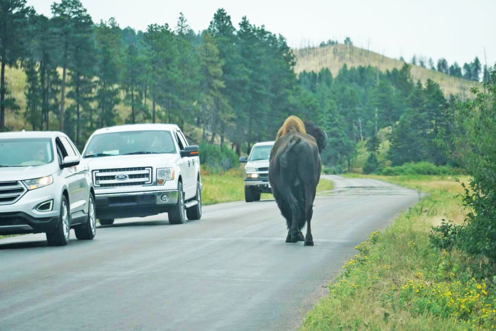 Bison walking down the road along the Wildlife Loop in Custer State Park