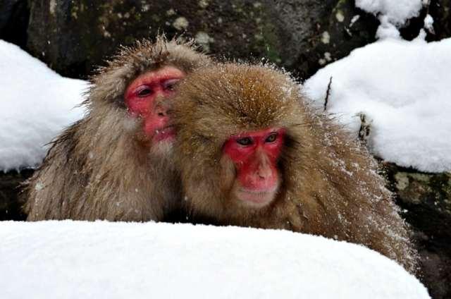 snow-monkey-park-10