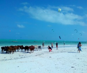 A Digital Nomad's Guide to Zanzibar - A horde of cows at the beach and kite-surfers enjoying the wind
