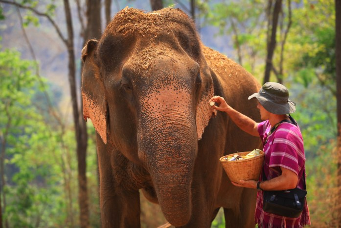thailand, chiang mai, patara elephant farm, elephant, feeding