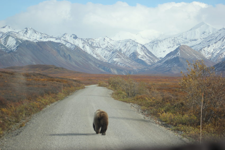 Oso Grizzly - Alaska
