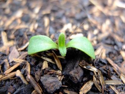 Helianthus tuberosus germination