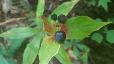Ripened berries of cucumber root on a plant approaching its dormancy in the autumn.