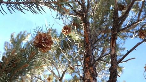 Open cones revealing pinenuts