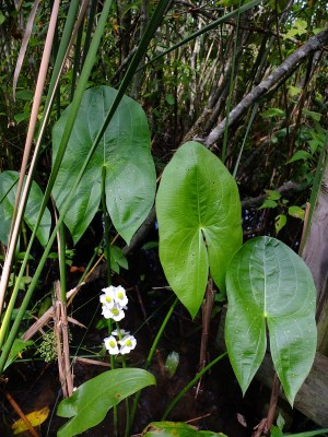 Sagittaria latifolia or wapato, a native plant of rivers, ponds, and lakes with an edible starchy tuber.