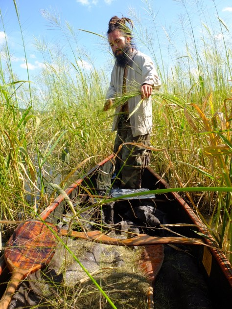 Eric bending over wild rice stalks and knocking the grain with an oar.