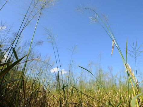 Fully opened, ripened stalks of wild rice stretching tall in the late summer sun.
