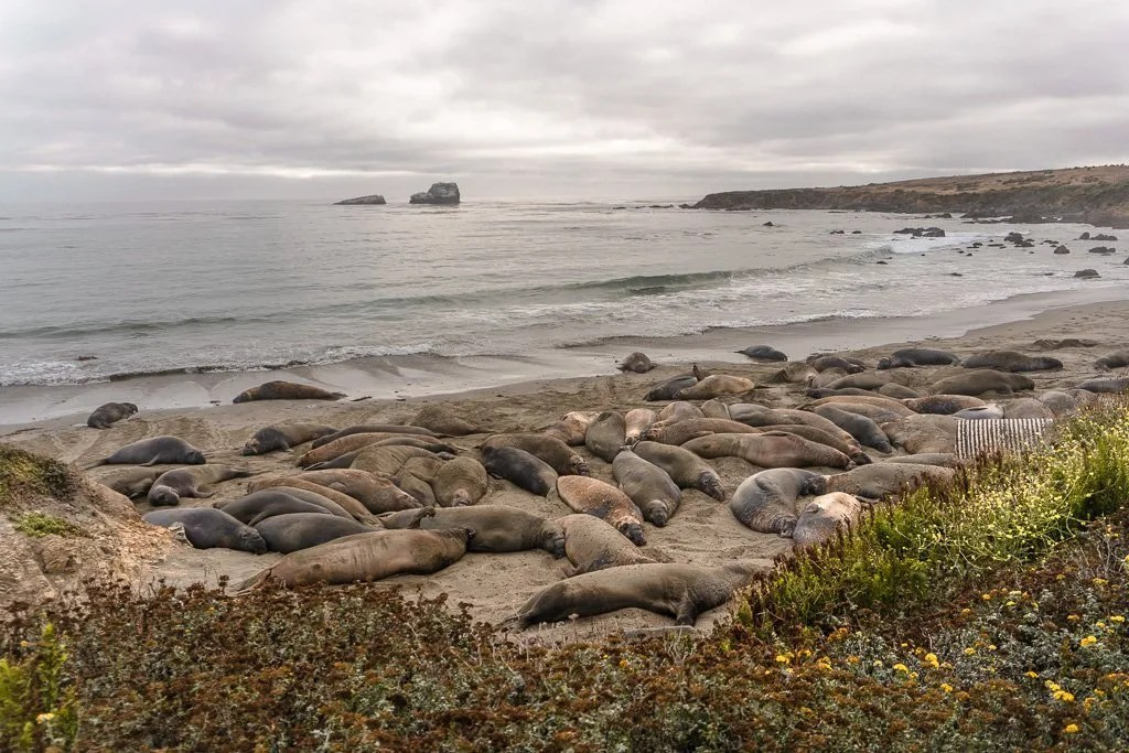 Elephant Seal Beach Big Sur