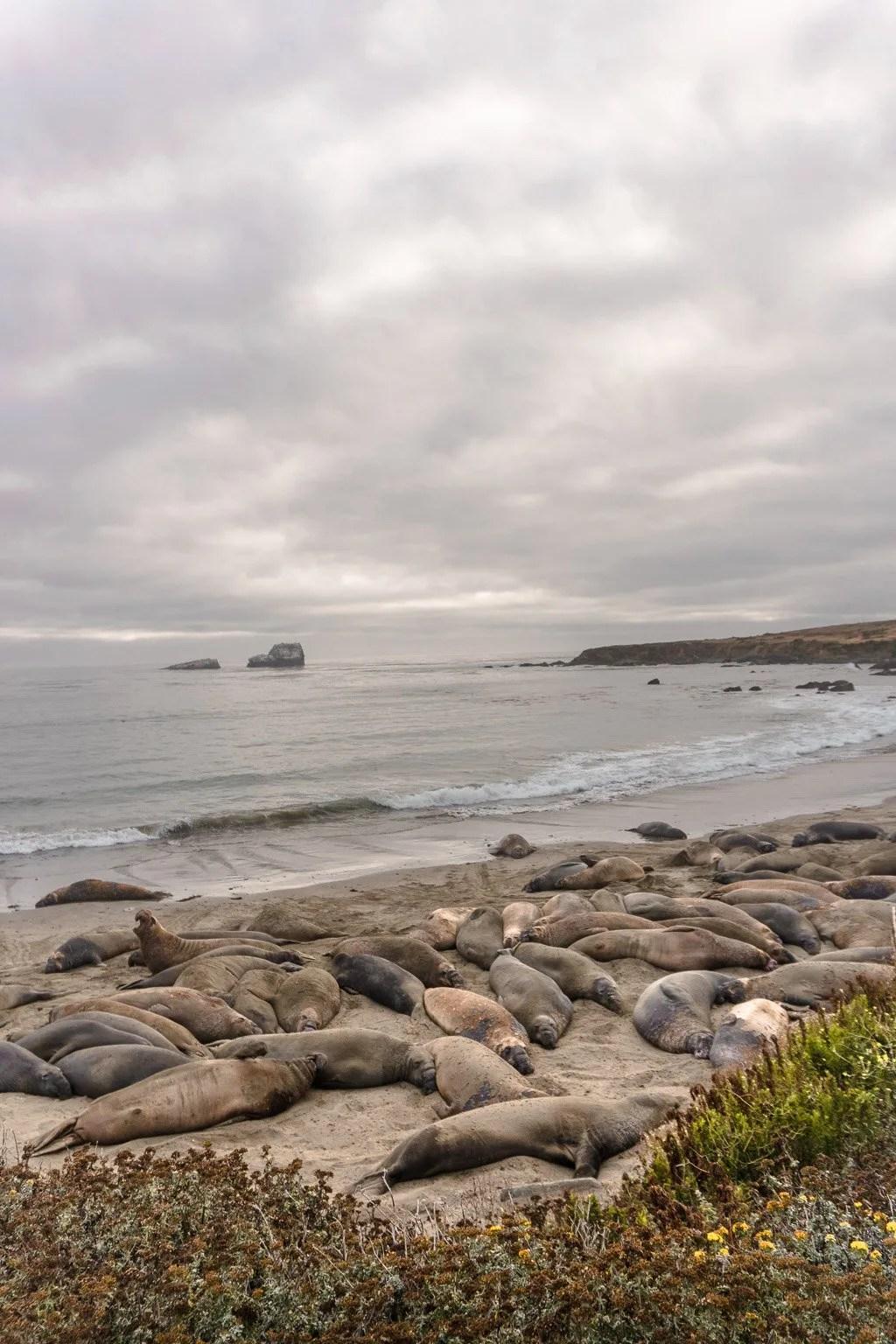 Piedras Blancas Elephant Seal near San Luis Obispo on the California Coast