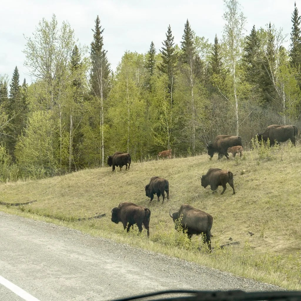 Bison Along Alaska Highway