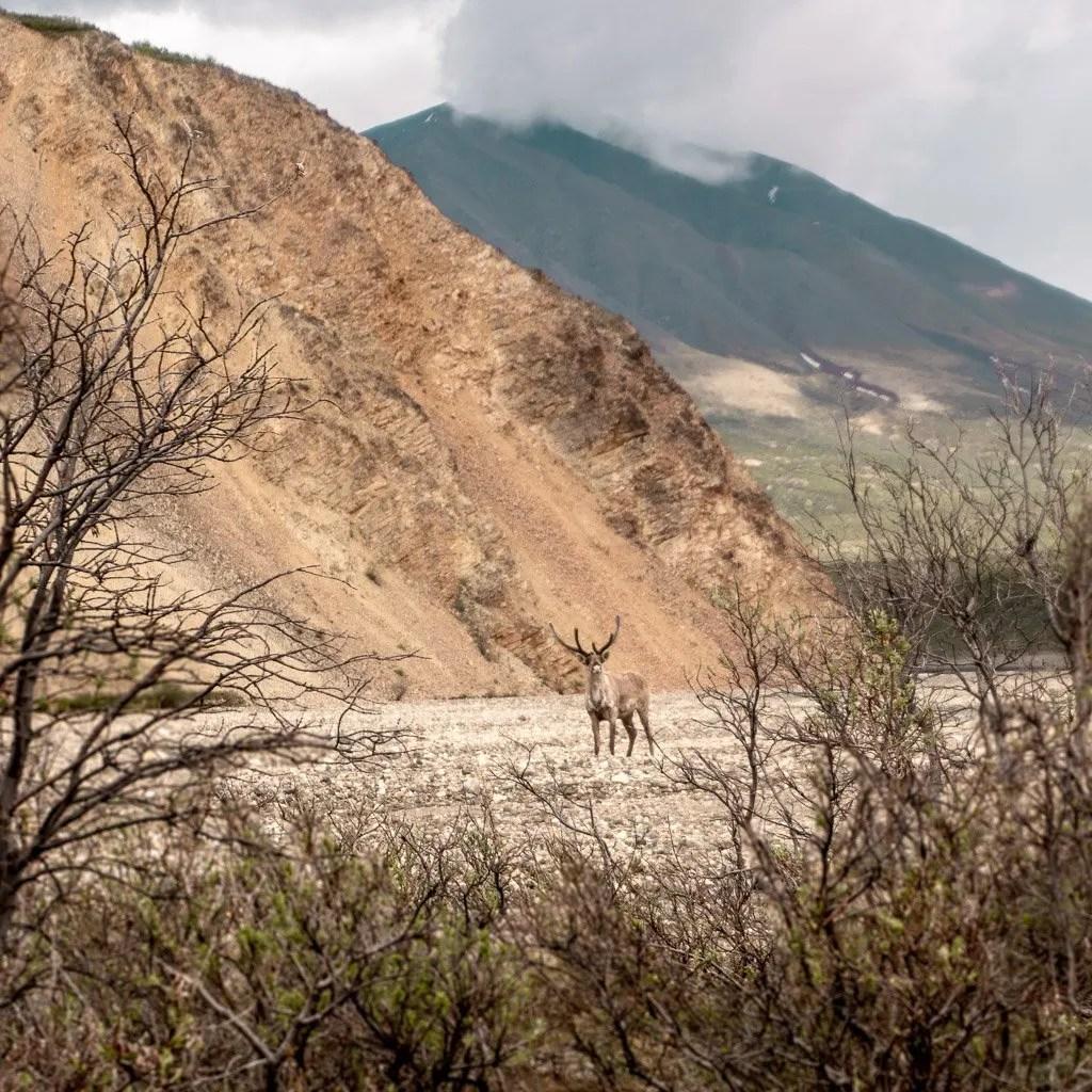 Wildlife in Denali National Park, Hiking and Camping, Alaska