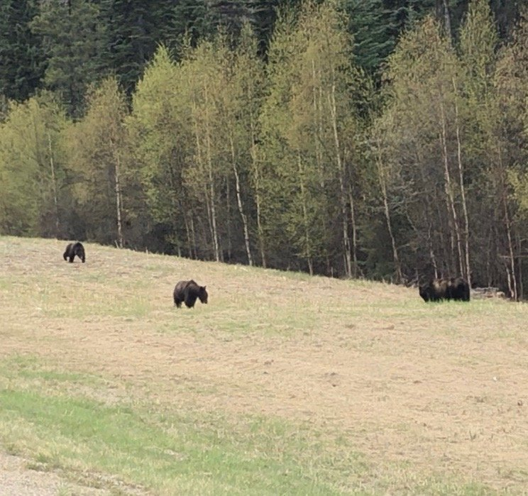 Grizzly Bears Along the Alaska Highway