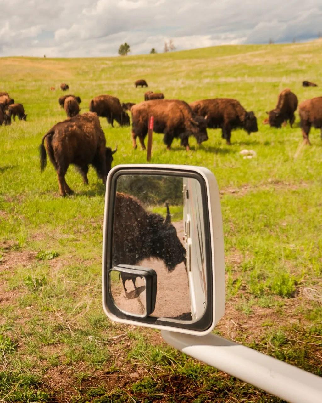 Wildlife Scenic Loop Custer State Park