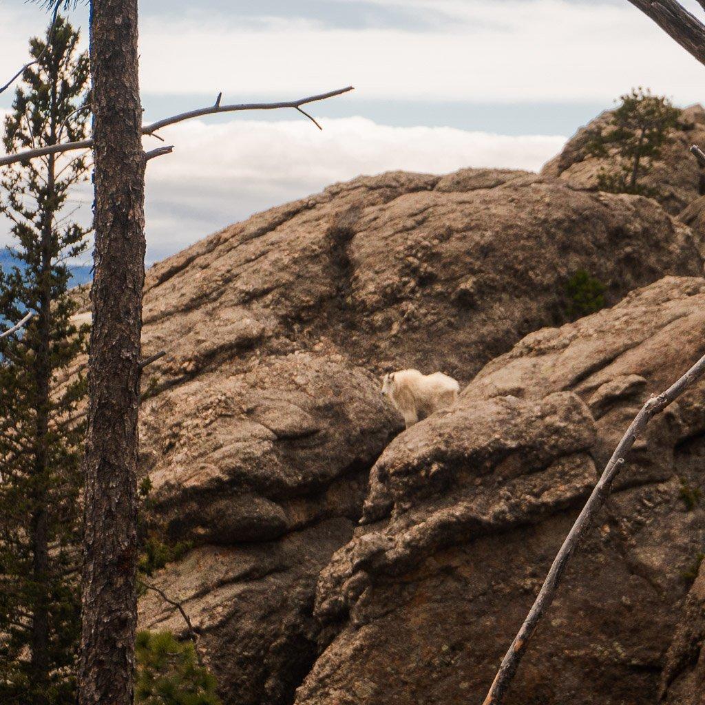 Mountain Goat on Little Devils Tower, South Dakota