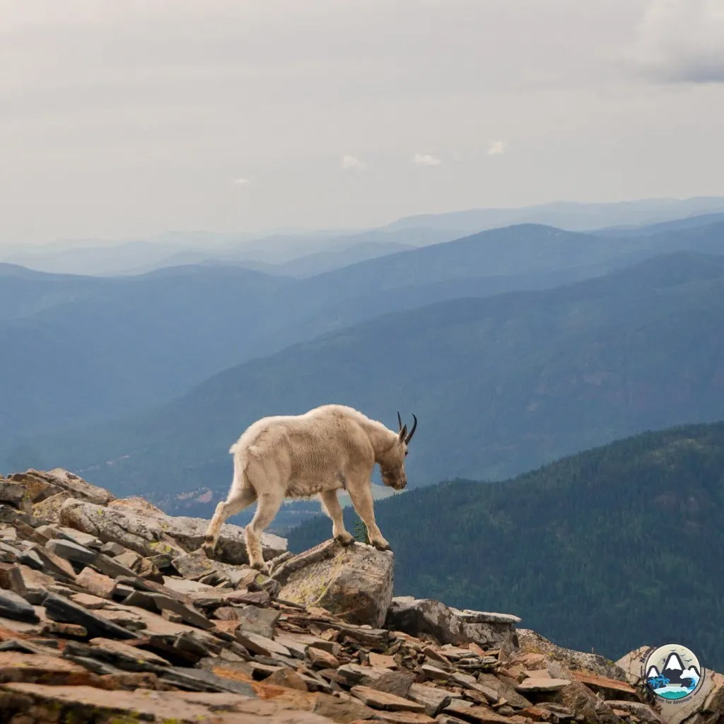Friendly mountain goats, Scotchman's Peak, Best Hikes