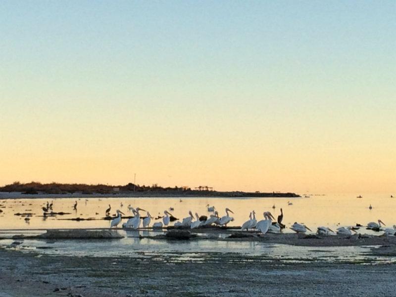 Salton Sea Pelicans 2