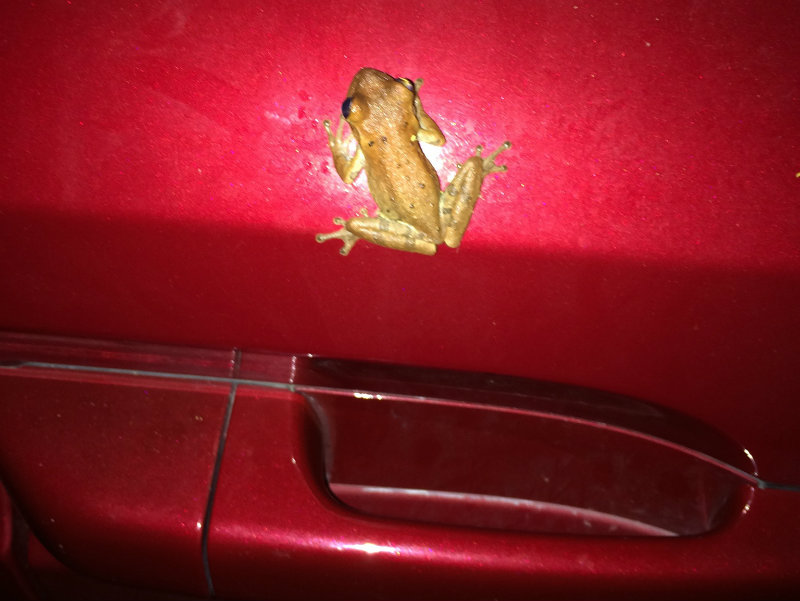 Frog on Red Delicious