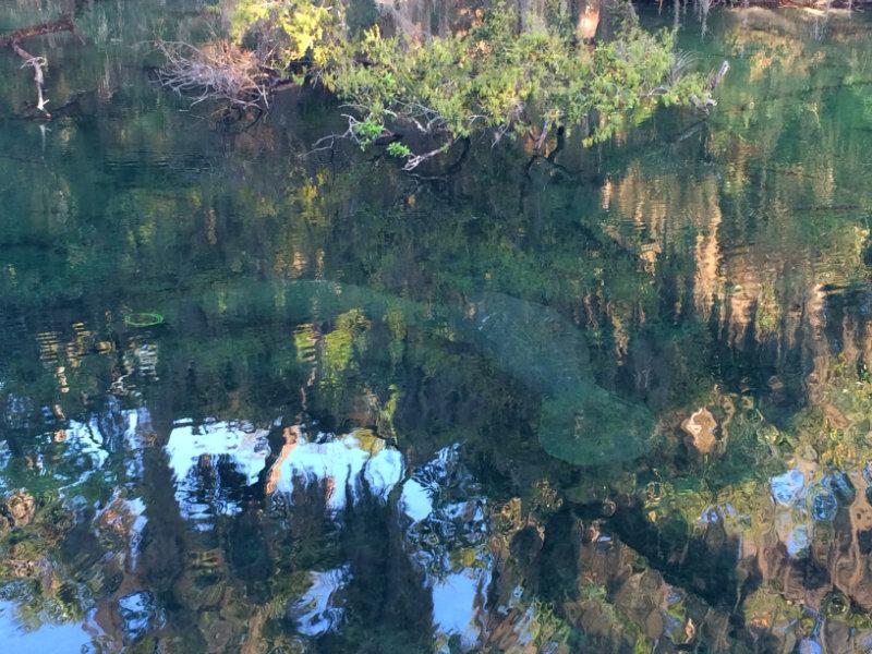 Manatees Blue Spring State Park