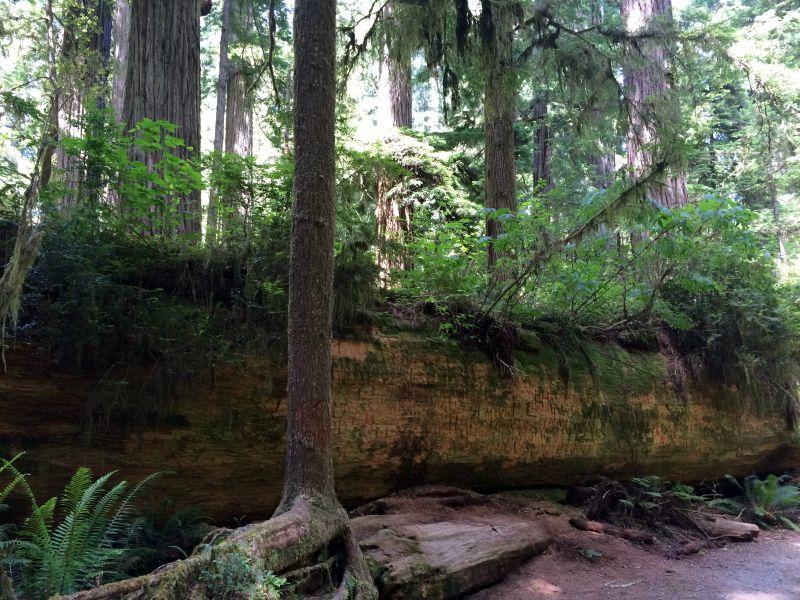 Jed Smith Redwood SP