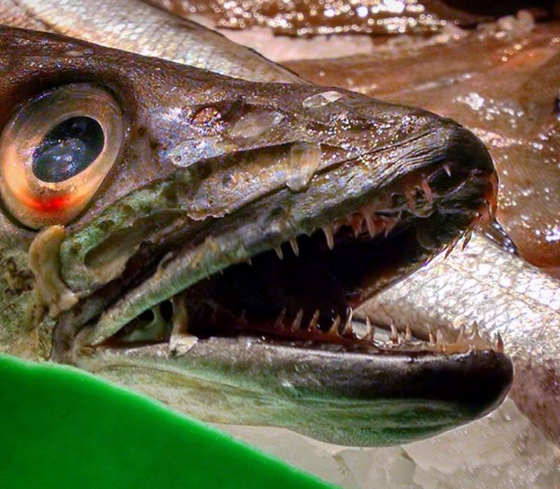 Head of a barracuda with sharp teeth on a bed of ice at La Boqueria market in Barcelona.