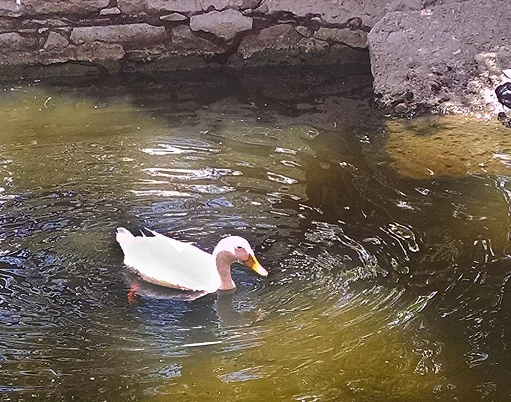 A white duck paddles by on the Duck Pond at the Fabrica Aurora in San Miguel de Allende.