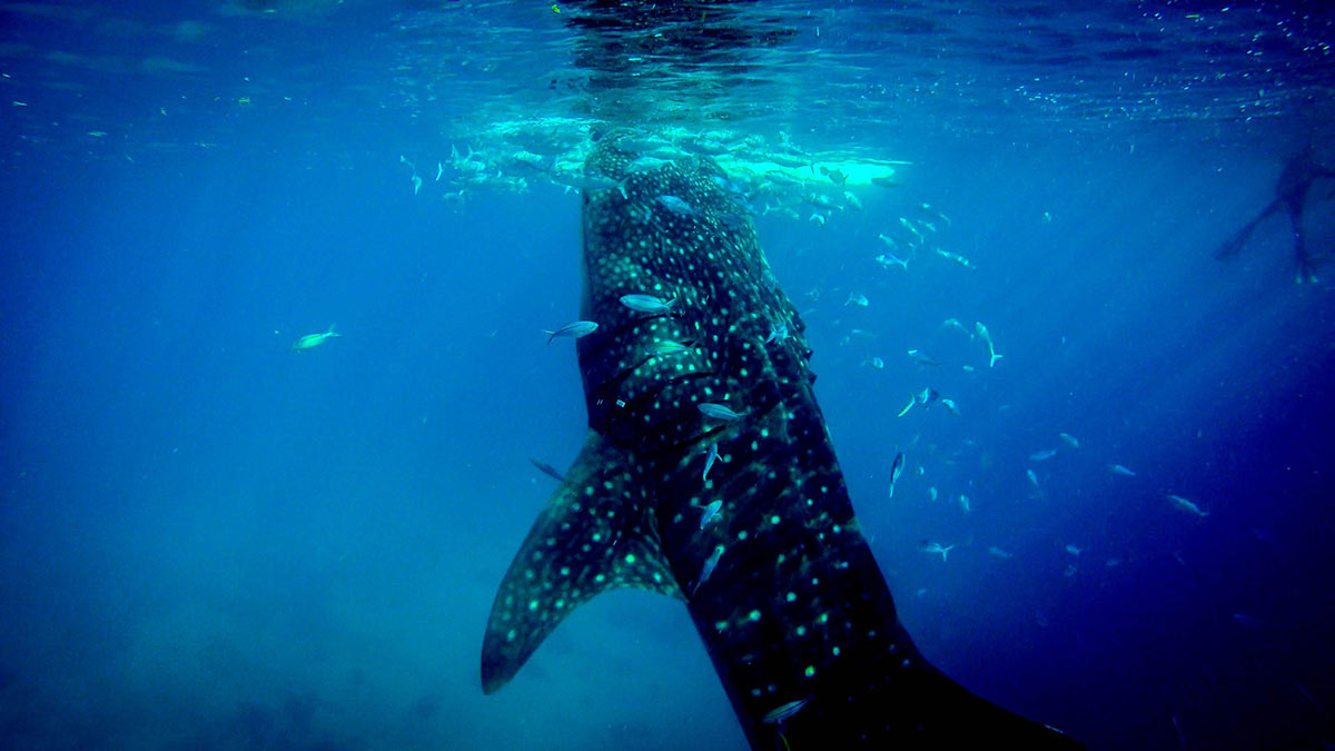 Snorkeling with a whale shark. Definitely on my travel wish list!