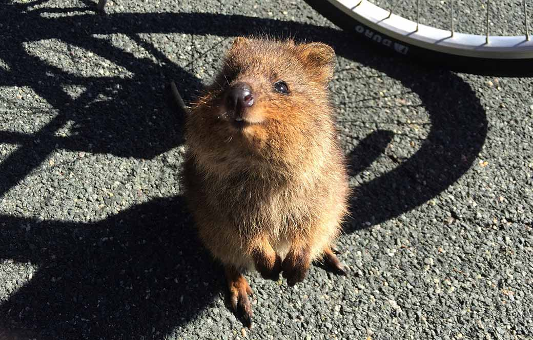 A darling little quokka on Rottnest island, looks up with a beseeching face, showing why everyone loves them.
