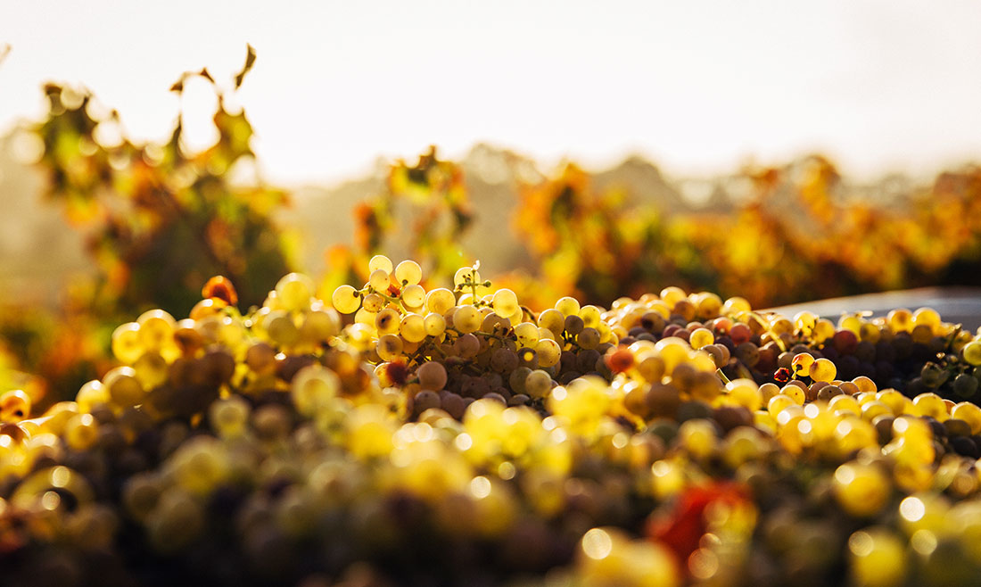 A mountain of green grapes,, the bounty of the Australia wine country.