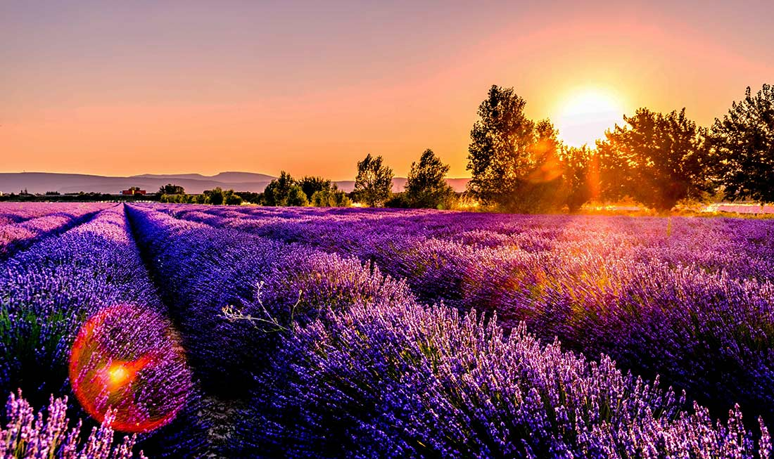 A beautiful field of lavender at sunset. Lyndoch Lavender Farm in the Adelaide Hills, on your South Australia road trip.